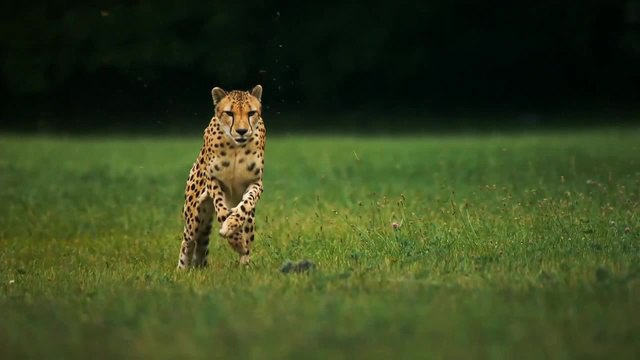 Cheetah slow motion running