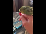 Злобный попугай???