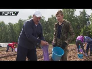 Лукашенко с сыном выкопали 105 тонн картофеля на своём участке