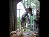 Giraffes!1
