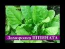 ШПИНАТ на зиму (2 способа) Как заморозить шпинат дома (пошаговый рецепт)