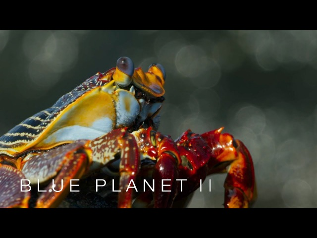 Lightfoot crabs ambushed by eels and octopuses - Blue Planet II: Episode 6 Preview - BBC One