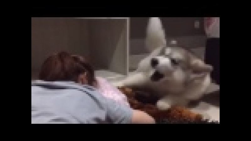 Mommy, please stop crying, Husky dog shows his love