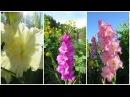 ГЛАДИОЛУСЫ. Осенняя выкопка и хранение клубнелуковиц How To Store Gladiolus For The Winter