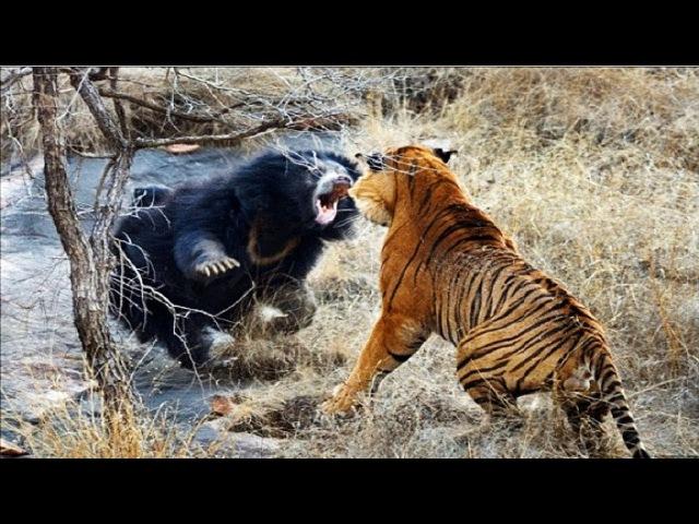 Spectacular Tiger Hunting Tiger Vs Boar Vs Deer vs Buffalo