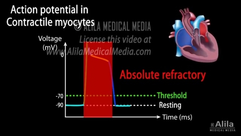 Cardiac action potential animation