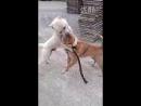 Китайская порода собак популярна в боях