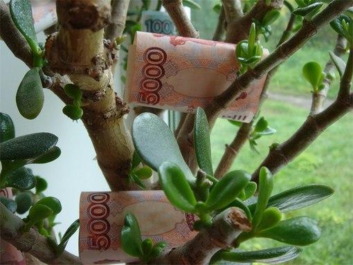 Как правильно сажать денежное дерево в горшок для привлечения денег 57