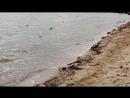 Евпатория пляж, утка ниндзя ,чайки вороны ,и песок 20 10 17