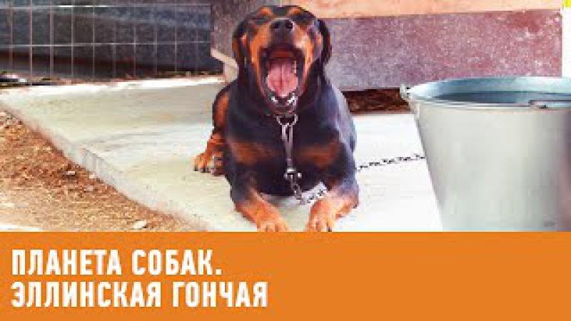 Эллинская гончая. Планета собак 🌏 Моя Планета