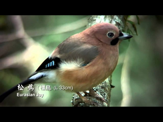 Daristan Balinden Rengin ü Deng Xwes .Different types of birds in nature.Taiwan 10 HD