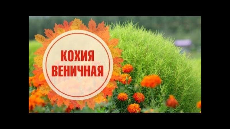 КОХИЯ ВЕНИЧНАЯ как вырастить 🌺 Советы цветоводам от hitsadTV