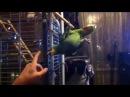 Венесуэльский амазон Попугай Валера висит на одной лапе на жердочке и кусается