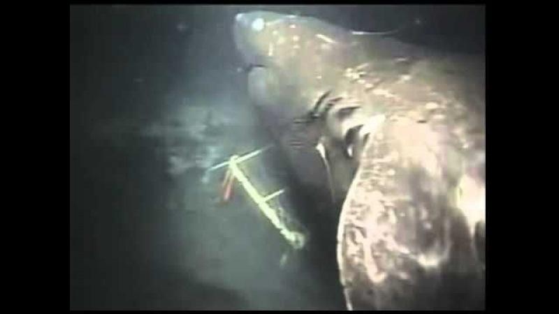 Tubarão de tamanho descomunal filmado vivo pode ser extinto megalodon !