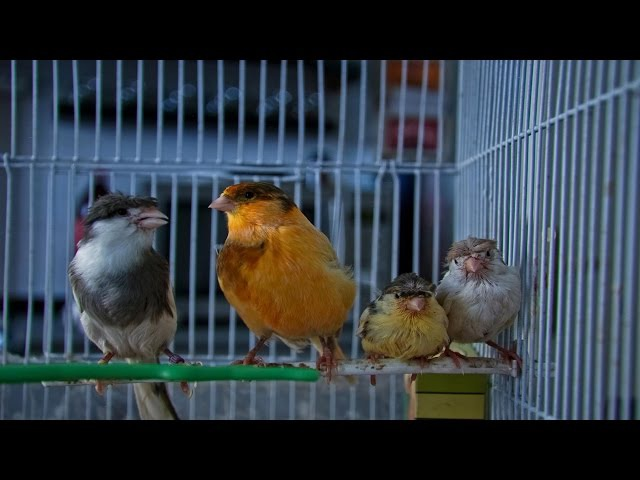 Пение канарейки Певчий кенар Как поет канарейка обучение / Singing canaries canary singing, sounds