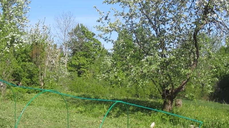Красота неописуемая...Blooming apple tree in spring time.
