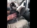 Пушистый водитель