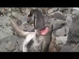 Пингвин ломает хребет  тюленю!