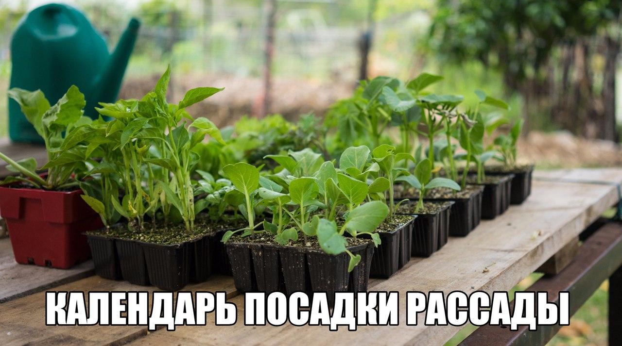 Луковицы 52