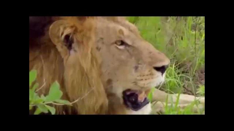 Логово зверя Дикая природа заповедник Африки парк Крюгера Животный мир