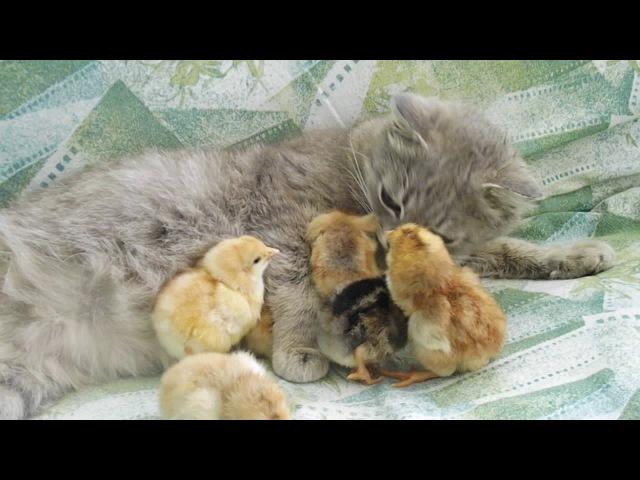 Мачеха офигеть! кошка вместо курицы для цыплят