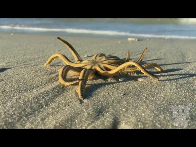 Морская звезда гуляет на суше. (Животные №26)