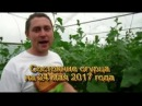Выращивание огурца от и до - вегетация. Фильм 2