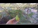 Прививка и плодоношение груши через год Результат прививки груши на яблоню год