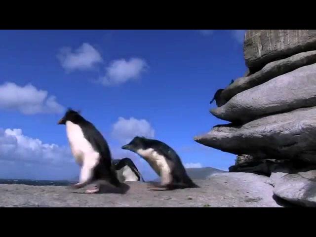 Забавные неуклюжие пингвины
