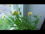 Календула цветёт на подоконнике