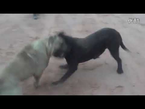 собачьи бои канарский дог VS кане корсо(fight dogs)18