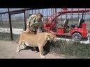Челябинская львица ЛОЛА скоро станет мамой!