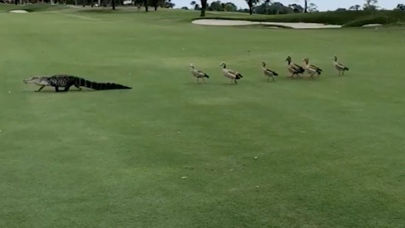 Geese Chase Alligator Across Golf Course