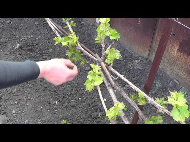 Работа на виноградниках. Нормировка побегами. Виноград 2015.