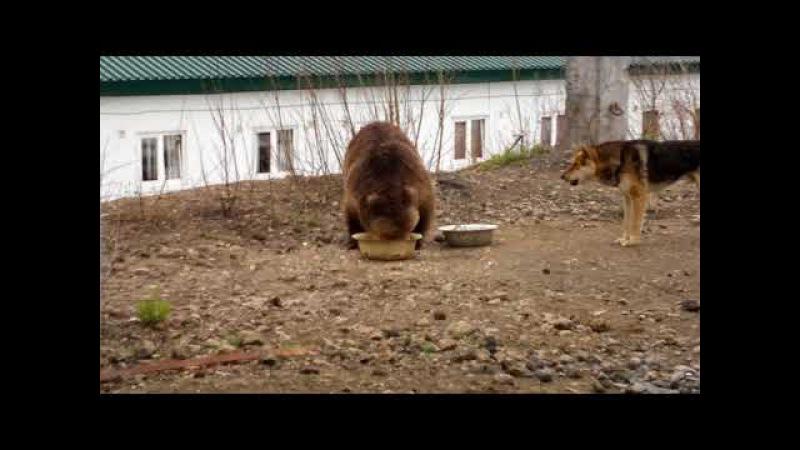 медведица пришла в гости покушать - 5.Камчатка,Россия(bear came to visit out - 5.Kamchatka, Russia)