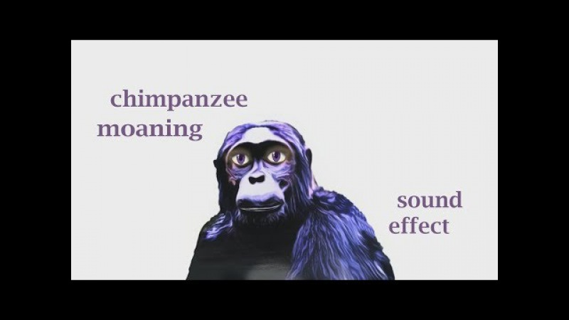 How A Chimpanzee Moaning Sound Effect Animation