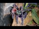 Красивый пушистый паук впервые вылез после линьки И другие козявочки из террариумов