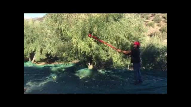 Снятие нового урожая оливок с деревьев