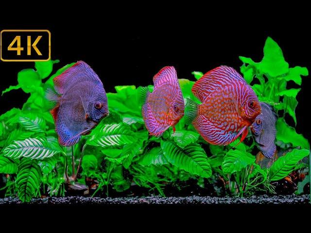 Discus Fish Aquarium   New look