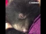 Медвеженок сопит