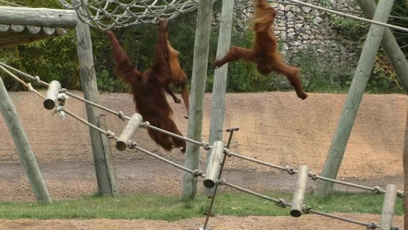 Лиссабонский зоопарк обезьяний релакс