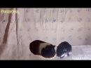 Морские Свинки Снизу, и Кинетический Песок!!/SvinkiStar