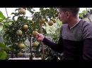 Грейпфрут C paradisi 'Ruby Star'