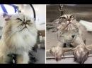 Смешные кошки до слёз Видео приколы Смешные коты до истерики 2018 8 Самое лучшее Без монтажа