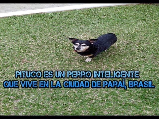 Perro inteligente va por sí mismo a la tienda para comprar alimento