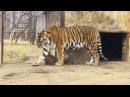 тигрица Скарлетт и малыши тигрята Тайган