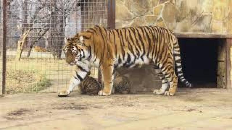 тигрица Скарлетт и малыши тигрята. Тайган