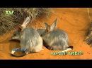 Bilby - grote langoorbuideldas - Macrotis lagotis