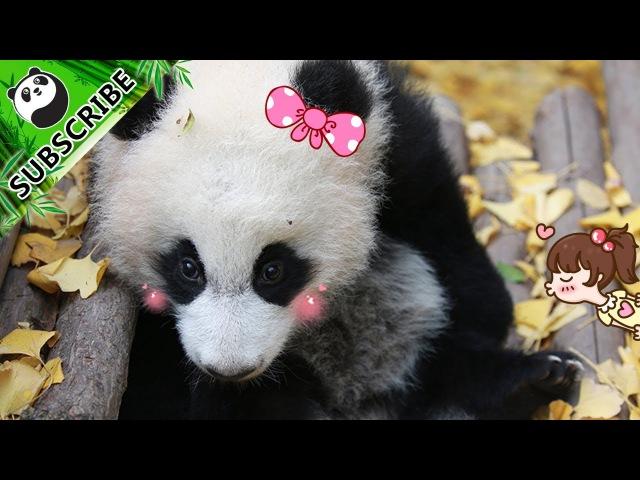 Tremble Panda iPanda