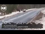 На Куршской косе очевидцы спасли дикого оленя от стаи собак